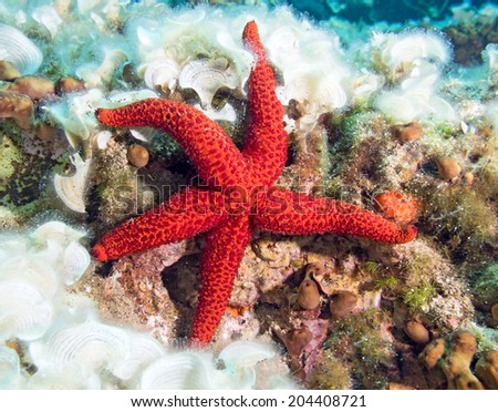 Underwater photograph of a Red Starfish on a reef. - stock photo