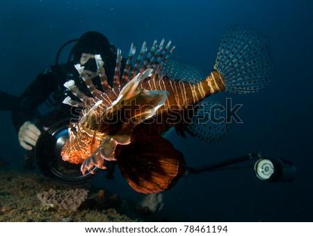 Underwater photographer and lionfish - stock photo