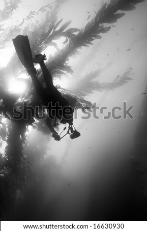 Underwater Photographer in Giant Kelp (Macrocystis pyrifera) forest in Southern California - stock photo