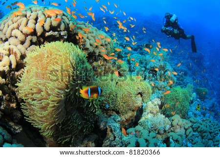 Underwater Photographer on Scuba dives with Clownfish at Anemone City in the Red Sea - stock photo