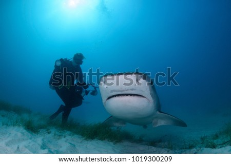 Underwater Photographer Photographing Tiger Shark in Sunlit Waters of Bahamas