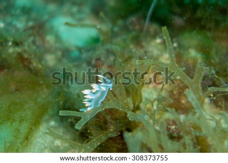 Underwater photography of a flabellina - stock photo