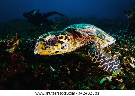 Underwater photography. Photographer diver scuba take a photo of Green Turtle near reef ocean. Actual under water Photo. 30 meters depth. Japan sea, Far East - stock photo