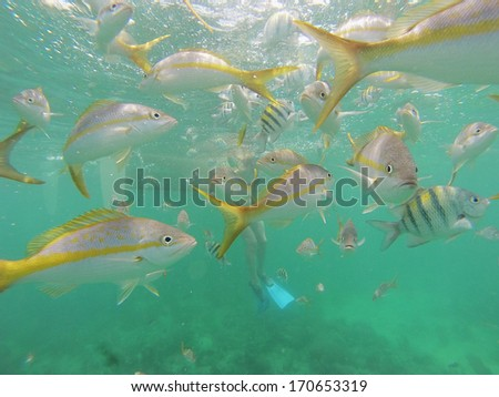 Underwater picture of snorkeling in the Caribbean sea with a shoal of colorful fish. Cuba is known for having some of the best world's snorkeling spots. - stock photo