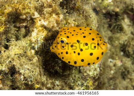 Underwater picture of Yellow Boxfish (Ostracion cubicus)