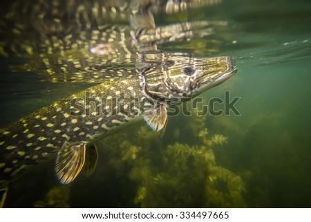 Underwater Pike - stock photo
