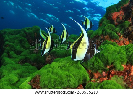 Underwater scene with tropical fish (Moorish Idols) - stock photo