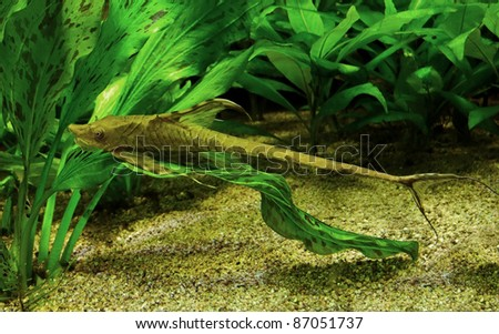 underwater scenery including a whiptail catfish in natural ambiance - stock photo