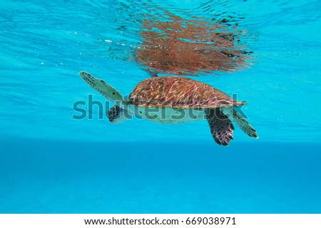 Underwater sea turtle swimming in the azure ocean. Wild turtle in the sea. Scuba diving exotic vacation with underwater wildlife. Sea trip with turtle.