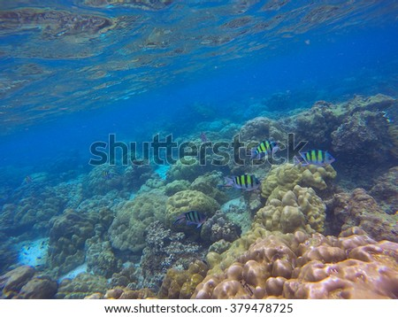 Underwater sea view with coral fishes and reef, coral reef landscape, seashore reef coral reefs, striped coral fishes in coral reef, dascyllus coral fish photo, life of coral reef, Bali, Indonesia - stock photo