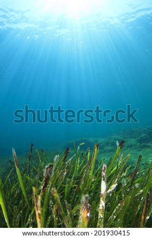 Underwater Seaweed - stock photo
