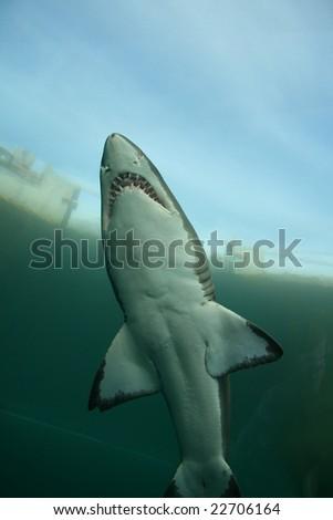 Underwater Shark - stock photo
