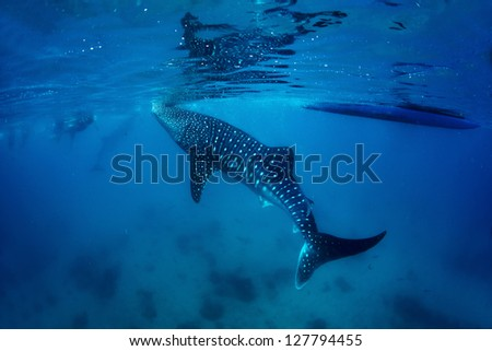 Underwater shoot of a gigantic whale shark ( Rhincodon typus) feeding near surface - stock photo