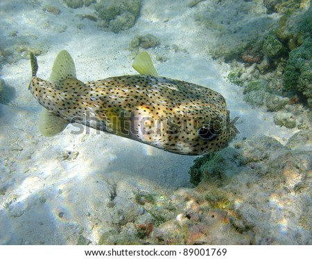 Underwater shot of a puffer fish. Maldives, Indian Ocean. - stock photo