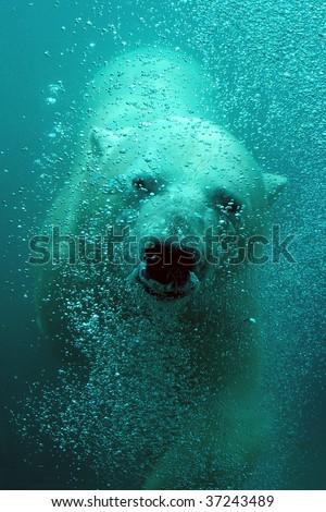 Underwater swimming polar bear close-up - stock photo