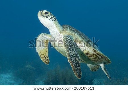Underwater swimming tropical Green Sea Turtle