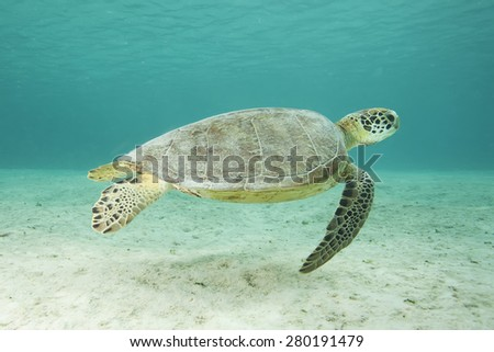Underwater tropical sea turtle swimming above sand - stock photo