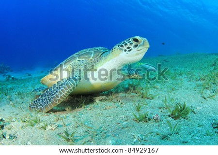 Underwater Turtle (Green Turtle - Chelonia mydas, in the Red Sea)