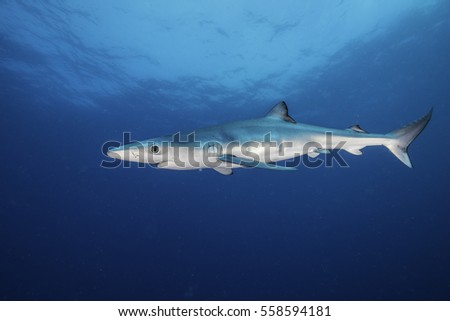 Underwater view of a blue shark swimming in blue water about 50 kilometres offshore past Western Cape in South Africa.