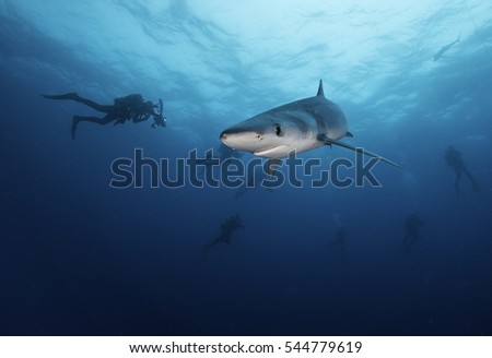 Underwater view of a blue shark swimming in blue water, at a dive site about 50 kms offshore from Western Cape South Africa. There are scuba divers in the background.