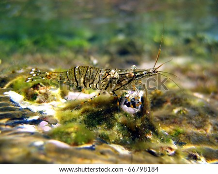 Underwater view of a Brown shrimp, Crangon crangon, Mediterranean sea, Roussillon, Vermilion coast, France - stock photo