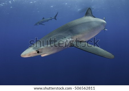 Underwater view of blue sharks at the dive site Azores Banks off the coast of Pico Island in the Azores Portugal.