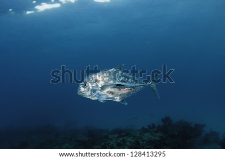 Underwater view of the African pompano fish - stock photo