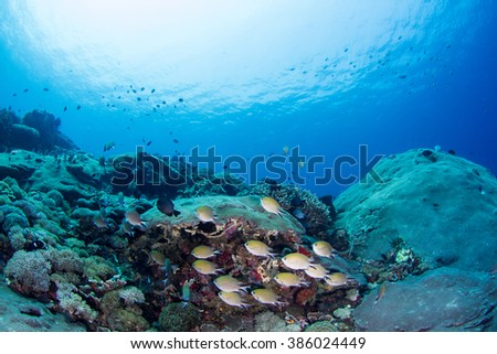 Underwater view to the healthy reef with group of fishes, hiding under the hard coral. Nusa Penida, Indonesia.