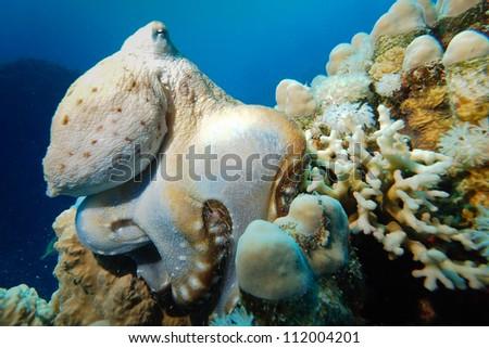 underwater wildlife - octopus - stock photo
