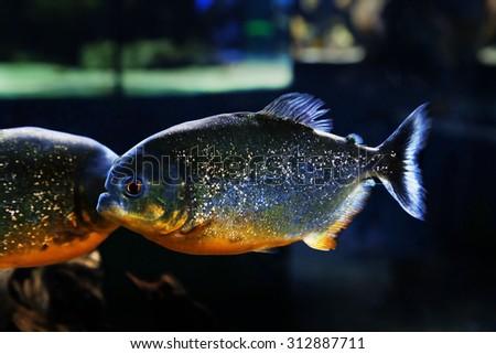 Underwater world - piranha in an aquarium - stock photo