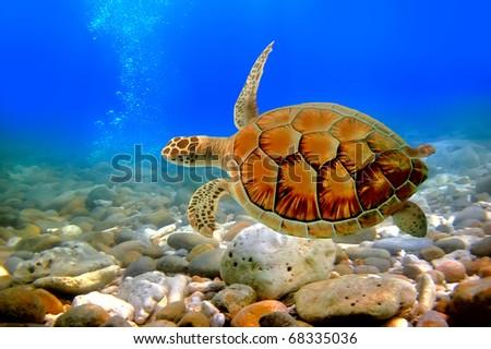 Underwater world. Sea turtle near Chang island. Thailand - stock photo