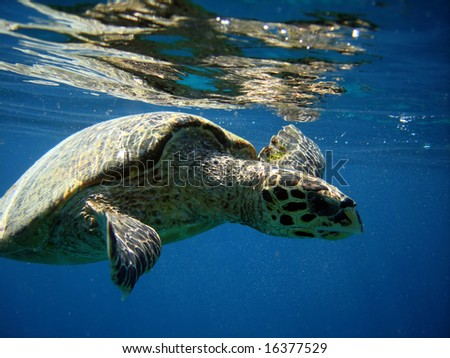 Underwater world. Sea turtle near Gili Meno. Lombok island. Indonesia