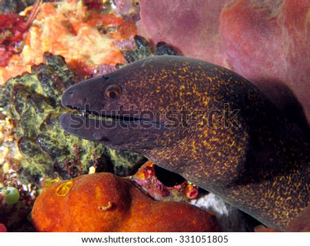 Undulated moray eel - stock photo
