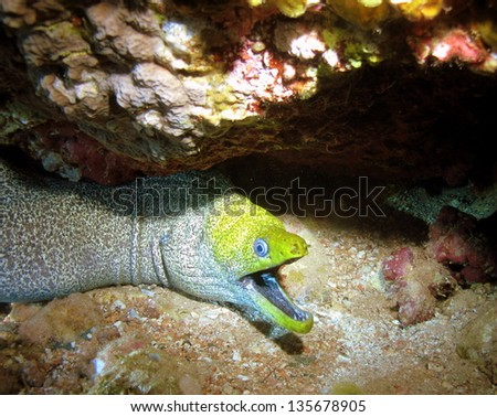 Undulated moray (Gymnothorax undulatus) under the hard coral during the night - stock photo