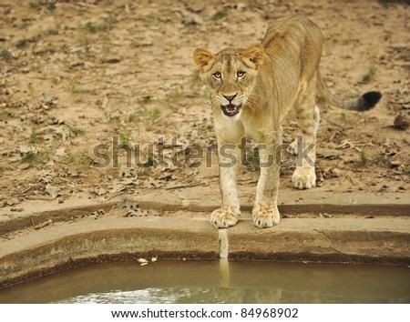 Uneasy female lion cub at the Washington DC zoo. - stock photo