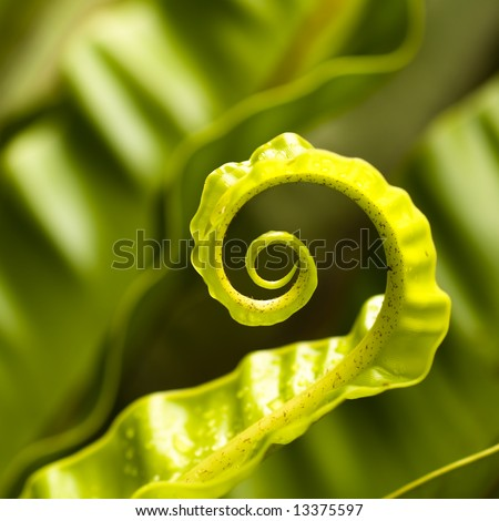 Unfurling Fern Tip