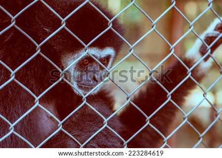unhappy expression gibbon in cage - stock photo