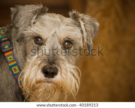 Unhappy miniature schnauzer dog indoors in front of brown background. - stock photo