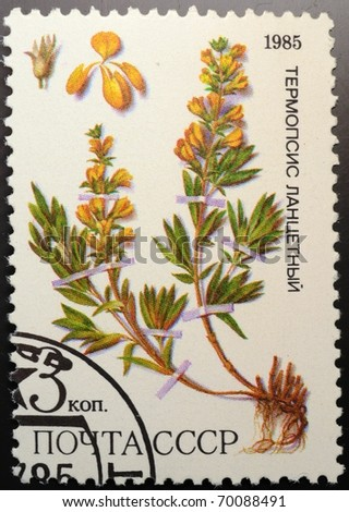 UNION OF SOVIET SOCIALIST REPUBLICS - CIRCA 1985: a stamp from the USSR (Scott 2008 cat. no. 5380) shows a Golden banner (Thermopsis lanceolata), of the medicial plants from Siberia series, circa 1985 - stock photo