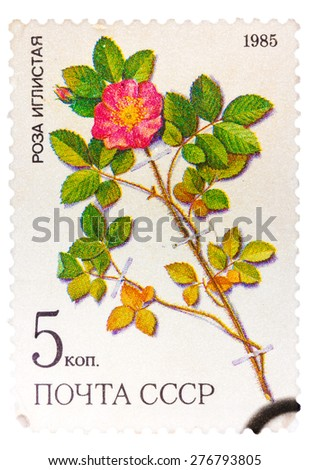 UNION OF SOVIET SOCIALIST REPUBLICS - CIRCA 1985: a stamp from the USSR (Scott 2008 catalog no. 5381) shows a prickly rose (Rosa acicularis lindi), a medicinal plant from Siberia, circa 1985 - stock photo