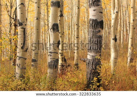 Unique aspens in the Utah mountains, USA. - stock photo