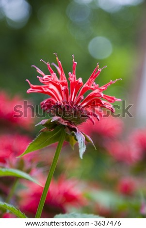 Unique red bee balm flower aka Monarda, shallow depth of field
