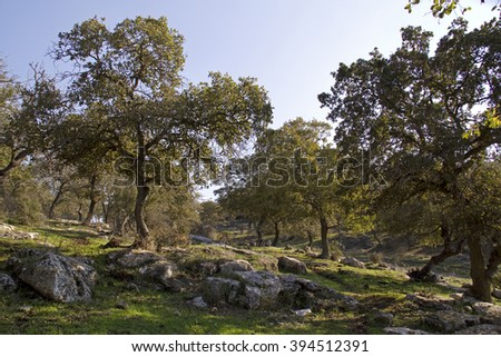 Unique Relict Oak Tavor Forest  in Upper Galilee,Northern Israel.