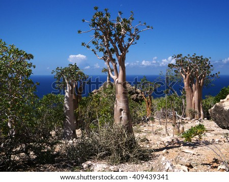 Unique Socotra flora - bottle tree, cucumber tree and Socotri variant of Desert Rose