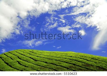 Unique View of Cameron Highland Tea Plantation Fields - stock photo