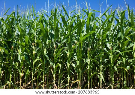United States is, by far, the largest producer of corn in the world. Almost eighty percent of all corn grown in the U.S. is consumed by domestic and overseas livestock, poultry, and fish production. - stock photo
