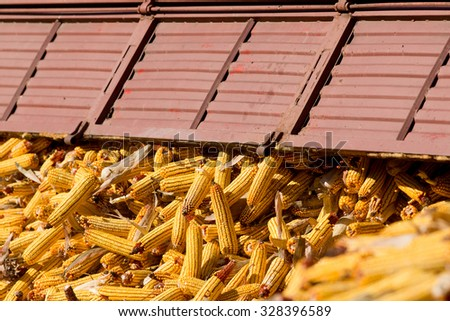 Unloading corn cob from trailer on the farm - stock photo