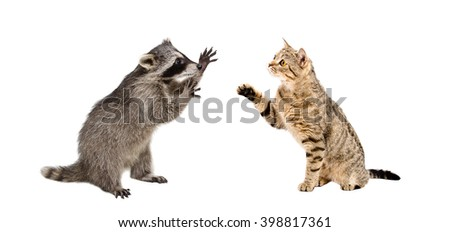 unny raccoon and cat Scottish Straight playing together isolated on white background