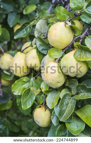 Unpicked quinces in the fruit garden - stock photo