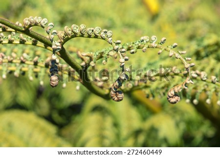 Unraveling fern frond closeup, one of New Zealand symbols. - stock photo